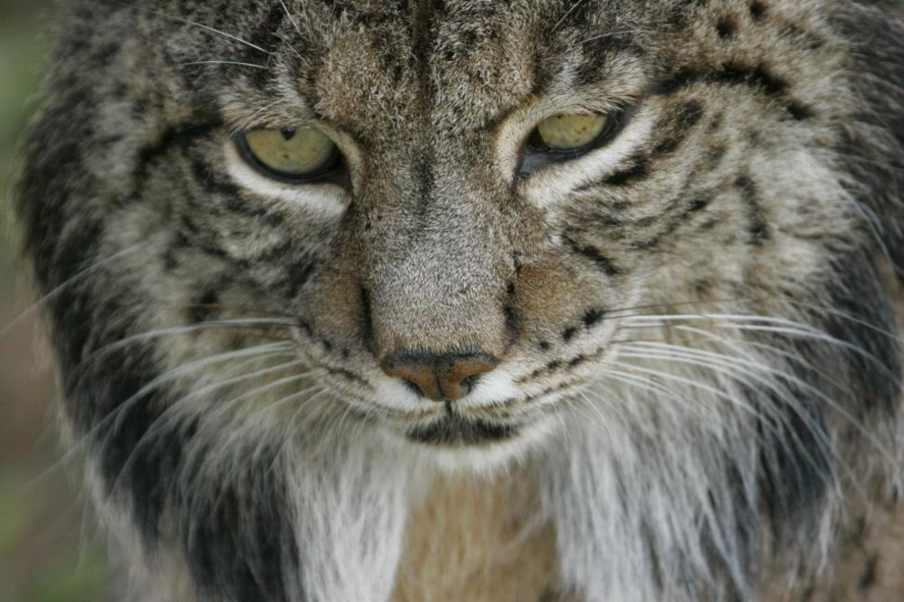 The Iberian lynx (Lynx pardinus), native to Spain and Portugal, is the most endangered cat in the world. Conservation actions in recent decades have led to an improvement in the species' conservation status from critically endangered to endangered.